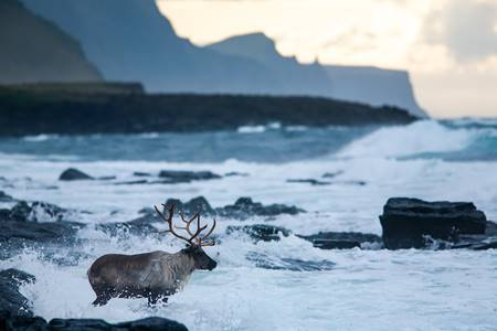 Reindeer in the ocean