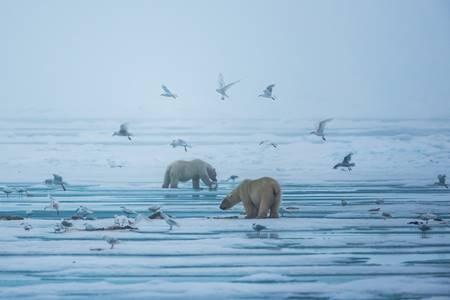 Two icebears and birds